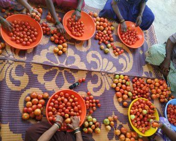 Tomato farmers in Andhra Pradesh, India sorting tomatoes