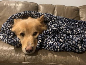 Doogan the dog wrapped in a blanket