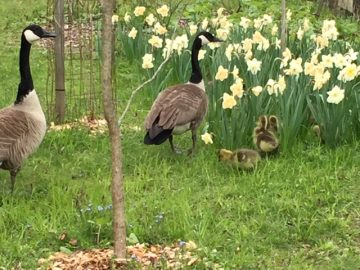 Geese at the Cornell Arboretum