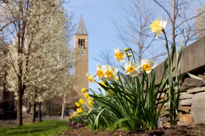 Daffodils bloom in front of McGraw Tower