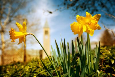 Daffodils with McGraw Tower in the background