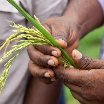 Researchers hold a rice plant